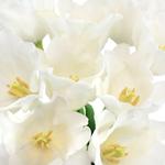 White Liberstar Tulips Wholesale Flower Bunch
