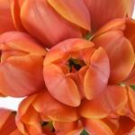 Ad Rem Orange Tulips Wholesale Flower Bunch