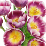 Berry Cracker Tulips Wholesale Flower Bunch
