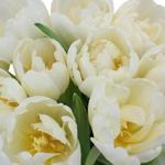 Casablanca Cream Double Tulips Wholesale Flower Bunch
