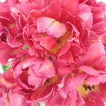 Flashpoint Pink Peony Tulips Wholesale Flower Bunch