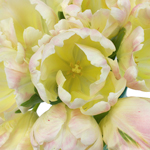 Pale Yellow and Pink Libretto Tulips Wholesale Flower Bunch