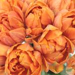Princess Orange Double Tulips Wholesale Flower Bunch