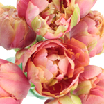 Renown Pink and Coral Double Peony Tulips Wholesale Flower Bunch