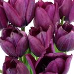 Ronaldo Purple Tulips Wholesale Flower Bunch