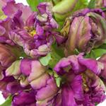 Secret Purple Parrot Tulips Wholesale Flower Bunch