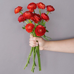 Red Ranunculus Wholesale Flower Bunch in a hand