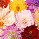 Fresh Cut Dahlias Assorted