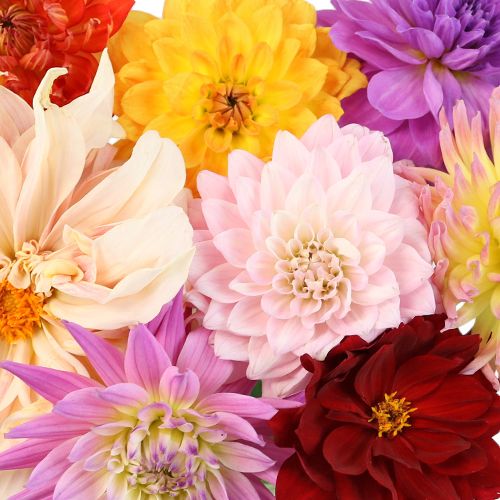 Assorted Fresh Cut Dahlias