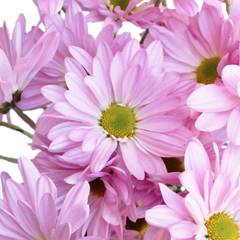 Antique Pink Daisy Flower