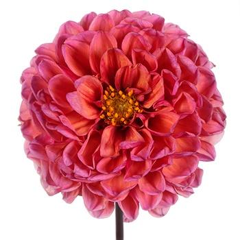 Pinkadelic Dahlia Flower
