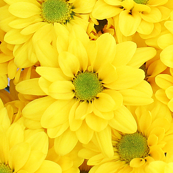 Super Daisy Yellow