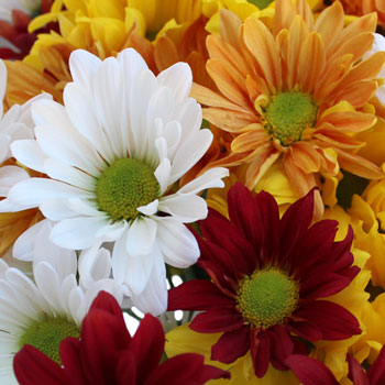 Fall Daisy Assorted Colors Flower