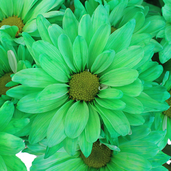 Mint Green Daisy Flower Enhanced