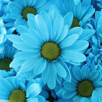 Enhanced Blue Daisy Flower
