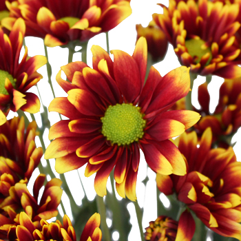 Autumn Daisy Flower