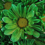 White Vero Daisy Green Tinted Flower