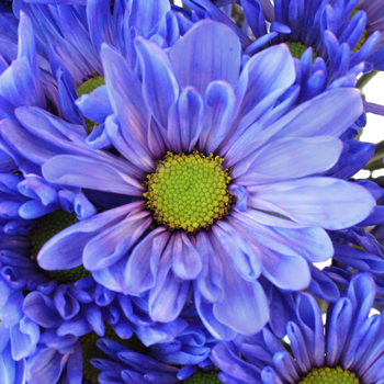Blueberry Daisy Flower Enhanced