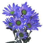 White Vero Daisy Blue Tinted Flower