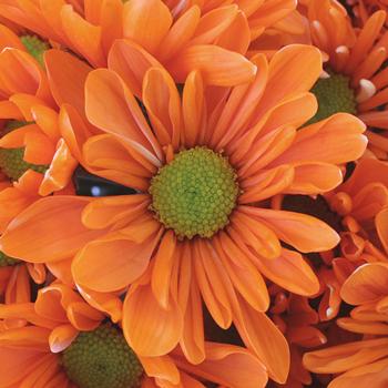 Electric Orange Bulk Daisy Flower