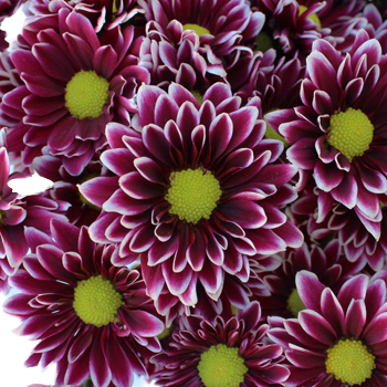 Orinoco Novelty Pom Burgundy Flower