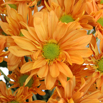 Tangerine Orange Wedding Daisy Flower