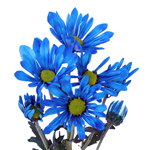 White Vero Daisy Blue Tinted Flower