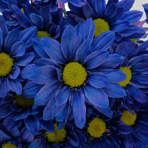 Fresh Cut Blue Daisy Flower Enhanced