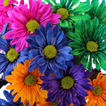 White Vero Daisy Farm Mix Tinted Flower