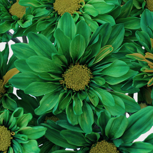Enhanced Green Daisy Flower