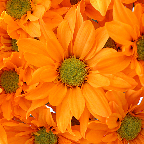 Orange Bulk Daisy Enhanced Flower