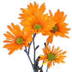 White Vero Daisy Orange Tinted Flower