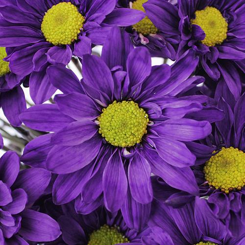 Purple Daisy Flower Enhanced