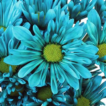 Turquoise Blue Daisy Flower Enhanced