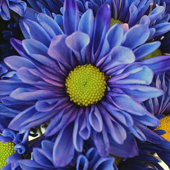 Indigo Violet Daisy Flower Enhanced