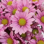 Lavender Bulk Novelty Daisy Flower