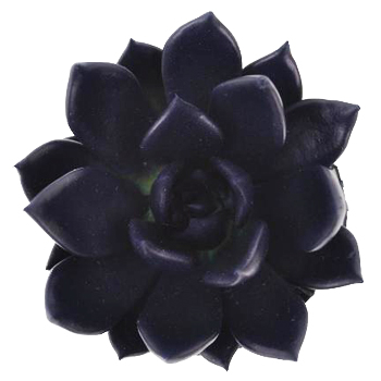 Blue Black Enhanced Succulent