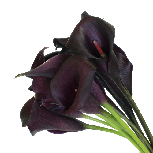 Dark Eggplant Mini Calla Lily Flower
