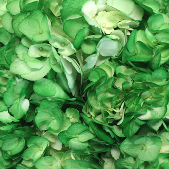 Bright Green Airbrushed Hydrangea