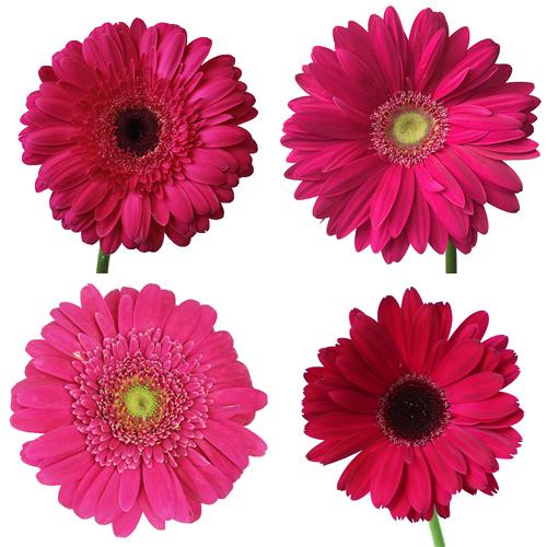 Dark Pink Gerbera Daisy