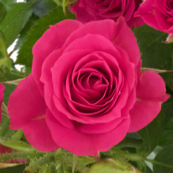 Raspberry Burst Spray Roses