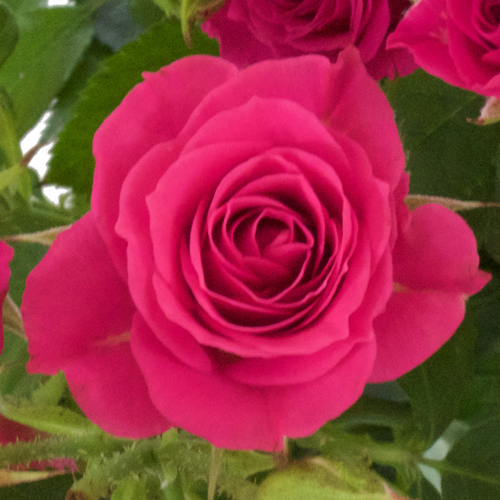 Raspberry Burst Spray Roses