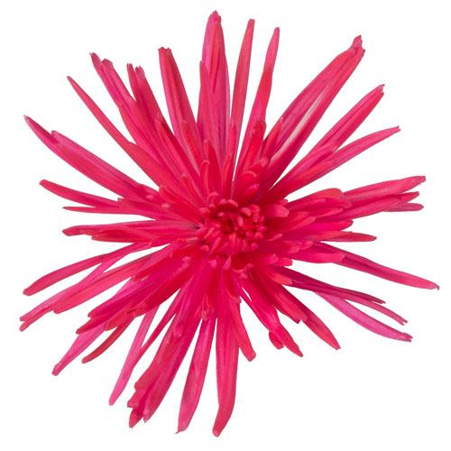 Hot Pink Airbrushed Spider Flower