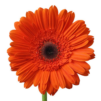 Dark Orange Gerbera Daisy