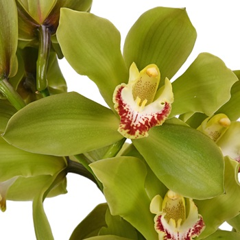 Green Fresh Cymbidium Orchids Burgundy Lip