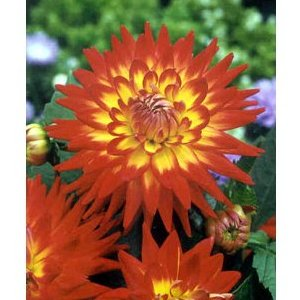 Bicolor Yellow and Red Dahlia Flower
