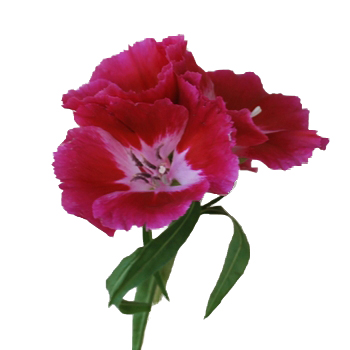 Dark Pink Bulk Godetias