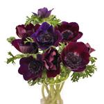 Anemonies Purple Flower