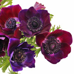 Anemonies Purple Flower