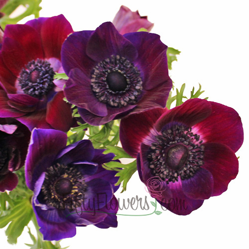 Burgundy Wine Fresh Cut Anemone Flower